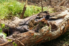 5-honey-bees-in-dead-tree